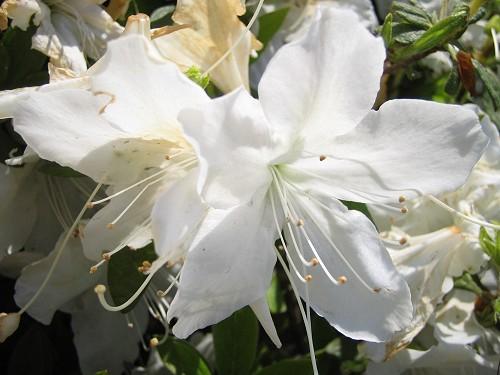 渋谷公会堂に咲く白いツツジ